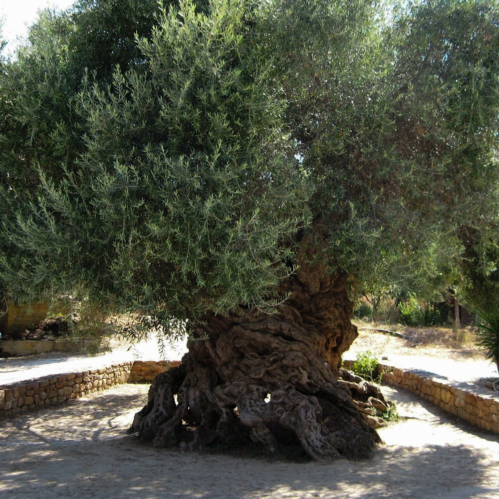 One Of The Oldest Olive Trees In World Grelia Gr