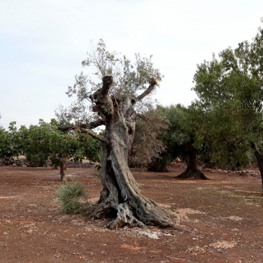 What is Xylella fastidiosa?