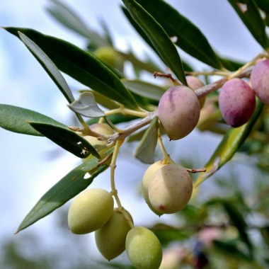 Olive oil as a way of developing tourism